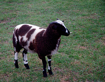 Photograph - Counting Sheep Number 1 by LeeAnn McLaneGoetz McLaneGoetzStudioLLCcom