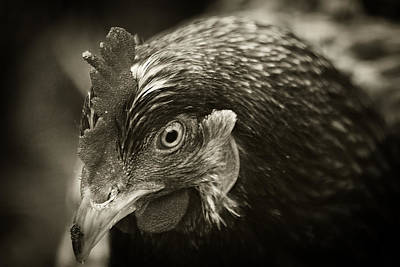 Photograph - Country Chicken 15 by Scott Hovind
