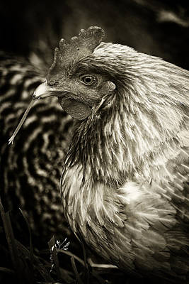 Photograph - Country Chicken 7 by Scott Hovind