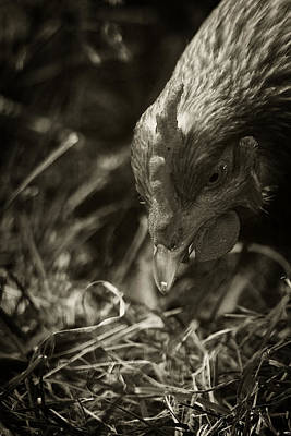 Photograph - Country Chicken 9 by Scott Hovind