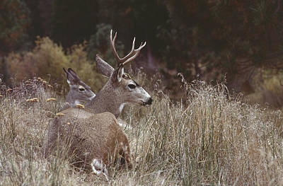 Photograph - Couple Of Deer by Mark Greenberg