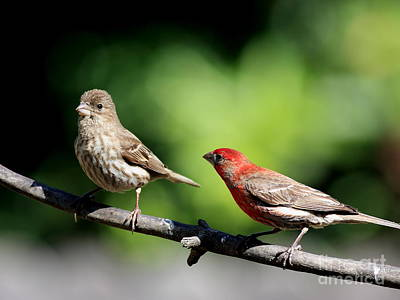 Red Finch Photograph - Courtship In Nature . 40d8073 by Wingsdomain Art and Photography