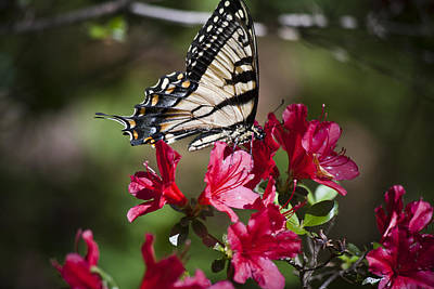 Blue Swallowtail Photograph - Coverd In Pollen by Teresa Mucha