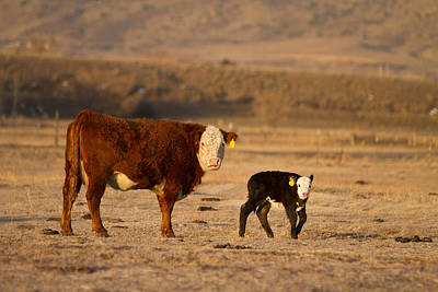 Firefighter Patents Royalty Free Images - Cow and Calf  Royalty-Free Image by James BO Insogna