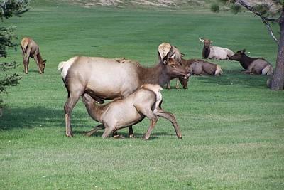 Cow Elk Feeding Calf Art Print by Richard Adams