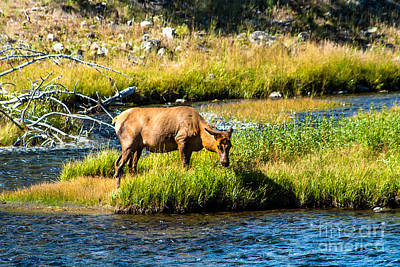 Photograph - Cow Elk by Robert Bales