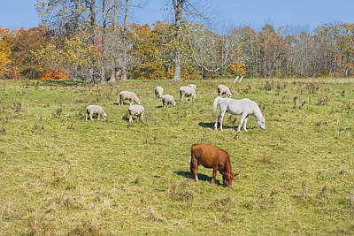 Maine Meadow Photograph - Cow Horse Sheep Grazing On Grass Farm Field Maine Photograph by Keith Webber Jr