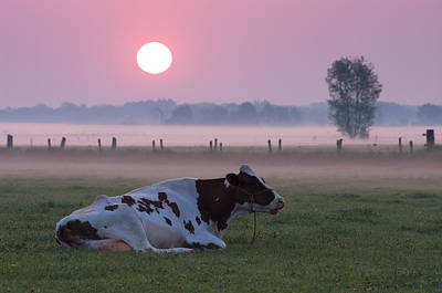 Art Print featuring the photograph Cow In Meadow by Hans Engbers
