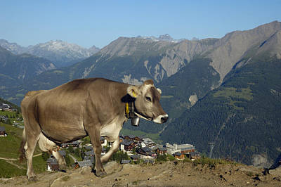 Photograph - Cow In The Mountains by Matthias Hauser