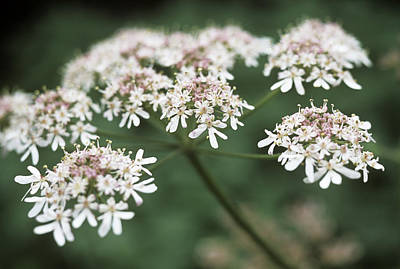 Cow Parsley Wall Art - Photograph - Cow Parsley (anthriscus Sylvestris) by Maxine Adcock