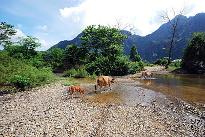 Cows Crossing River In Vietnam Art Print