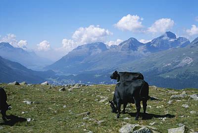 Cows Graze In A Field High Art Print