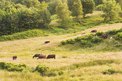 Maine Meadow Photograph - Cows Grazing In Field Rockport Maine by Keith Webber Jr