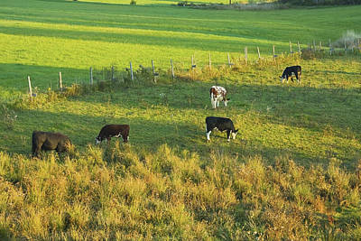 Maine Meadow Photograph - Cows Grazing In Late Day Light On Farm Maine by Keith Webber Jr