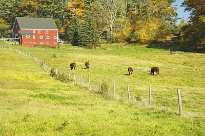 Maine Meadow Photograph - Cows Grazing On Grass In Farm Field Fall Maine by Keith Webber Jr