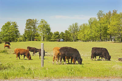 Maine Meadow Photograph - Cows Grazing On Grass In Maine Farm Field Spring by Keith Webber Jr