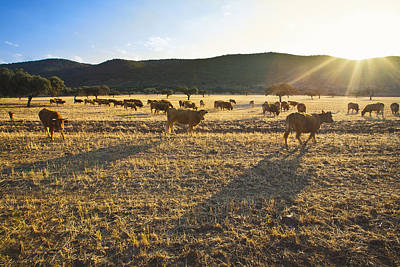 Photograph - Cows In Dehesa, Typical Pasture Of Extremadura by Gonzalo Azumendi