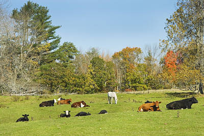 Cows Laying On Grass In Farm Field Autumn Maine Print by Keith Webber Jr