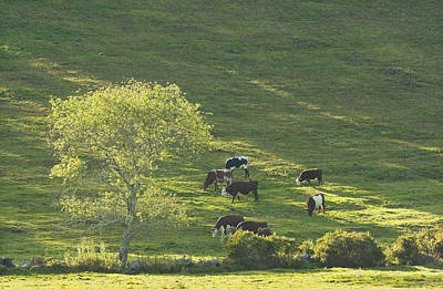 Maine Meadow Photograph - Cows On Hillside Summer In Maine by Keith Webber Jr