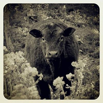 Cow Photograph - cowsie Wowsie #cow #indiana #jasper by Melissa Wyatt