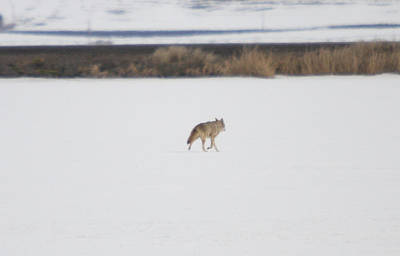 Photograph - Coyote - 0001 by S and S Photo