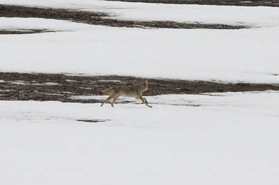 Photograph - Coyote - 0002 by S and S Photo