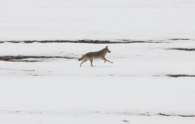 Photograph - Coyote - 0003 by S and S Photo