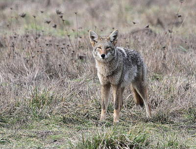 Photograph - Coyote by Angie Vogel