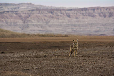 Photograph - Coyote Badlands National Park by Benjamin Dahl