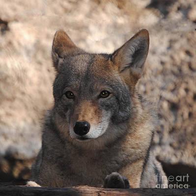Coyote Beautiful Print by DiDi Higginbotham
