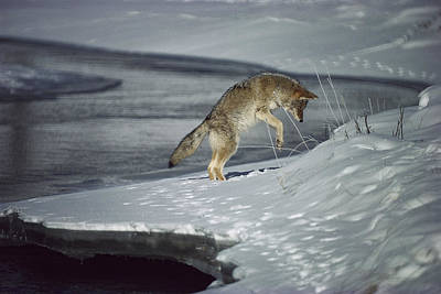 Coyote Canis Latrans Pouncing On Small Art Print