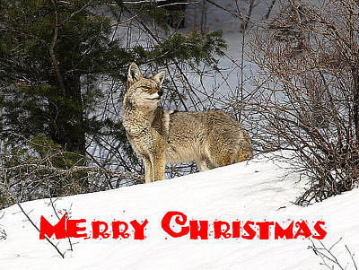 Photograph - Coyote Christmas by DeeLon Merritt