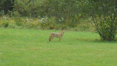 Coyote In The Yard  Art Print by Jeffrey Benedict