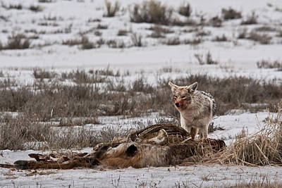 Photograph - Coyote National Elk Refuge  by Benjamin Dahl