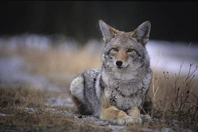 Coyote Resting In Winter Grass, Snowing Art Print by Leanna Rathkelly