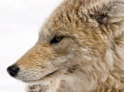 Photograph - Coyote by Steve Stuller