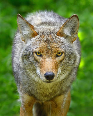 Photograph - Coyote by Tony Beck