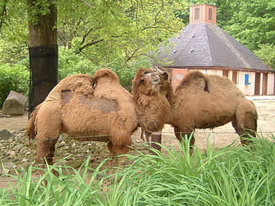 Cozy Camels - Cleveland Metro Zoo 1 Art Print by S Taylor