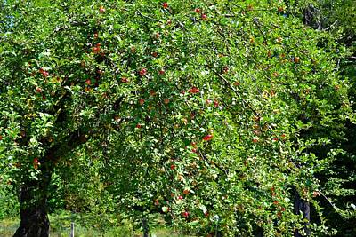 Photograph - Crab Apple Tree by Ted Kitchen