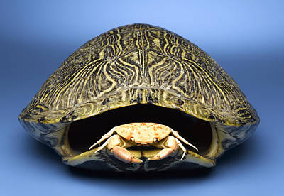 Crab Inside Of Empty Turtle Shell Art Print by Jeffrey Hamilton