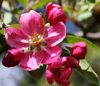 Photograph - Crabapple Blossom by Bruce Bley