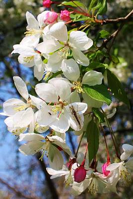 Photograph - Crabapple Blossoms 2 by Bruce Bley