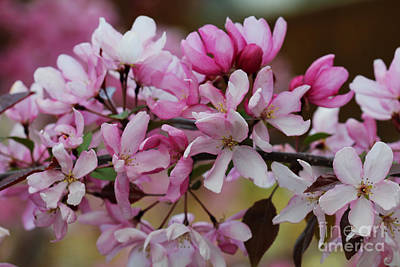 Photograph - Crabapple Branch Blossoms by Donna Munro