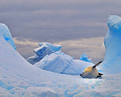 Antarctic Ocean Photograph - Crabeater On Ice by Tony Beck