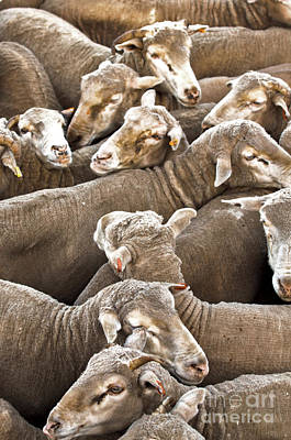 Photograph - Crammed Sheep by Stephen Mitchell