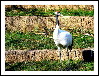 Photograph - Crane-4 by Anand Swaroop Manchiraju