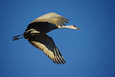 Photograph - Crane In Flight by Diana Douglass