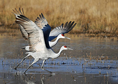 Photograph - Cranes Taking Off by Diana Douglass