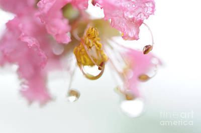 Photograph - Crape Myrtle With Dew by Nancy Greenland