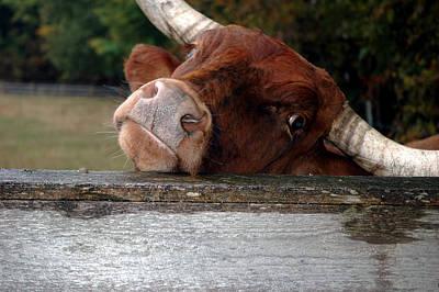 Bull Photograph - Crazed Look In The Bulls Eye by LeeAnn McLaneGoetz McLaneGoetzStudioLLCcom